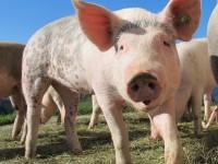 pigs-214350_1920