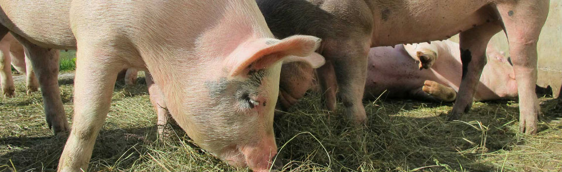 Pig Feeds Northern Ireland