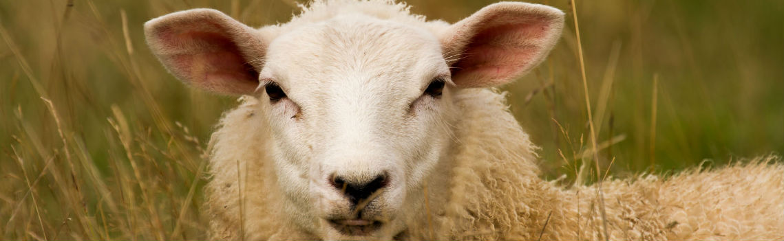 Sheep Feeds Northern Ireland FS Herron
