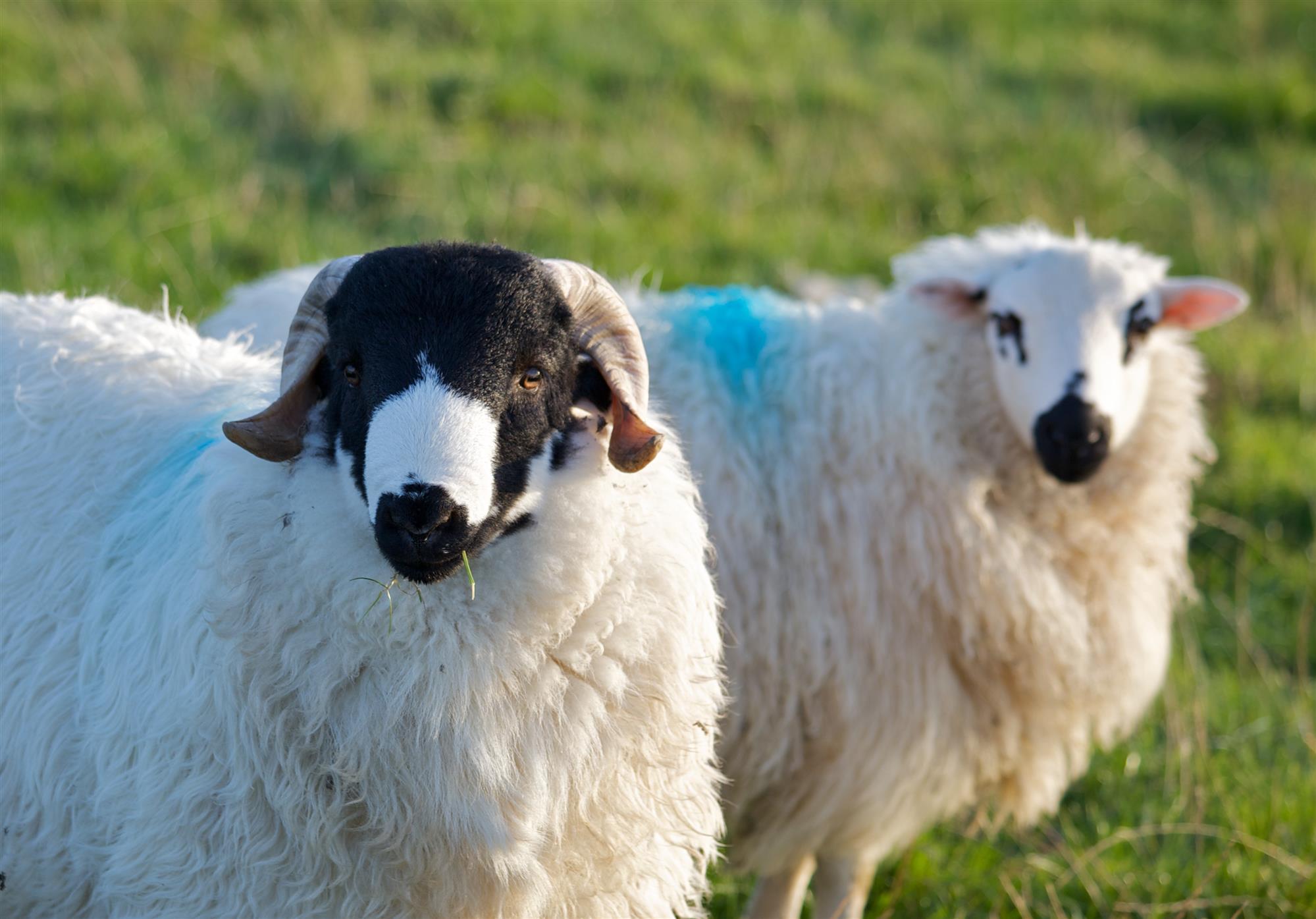 sheep-50914_1280