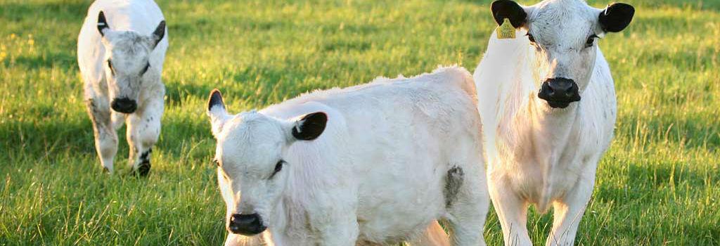 Calf Feed Northern Ireland